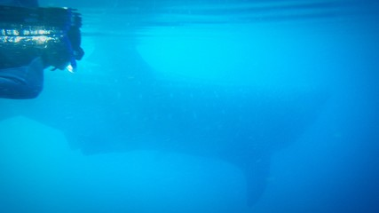 Scuba Diver And Whale Underwater
