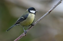 Titmouse Perching On Branch