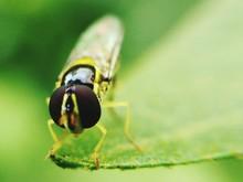 Macro Shot Of Hoverfly