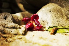 Close-up Of Red Flower Fallen On Ground