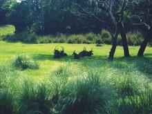 Gazelles Relaxing On Grassy Fi...