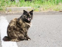 Portrait Of Cat Licking Lips O...