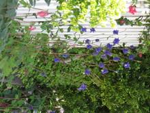 Purple Flowers Plants Growing On Roadside