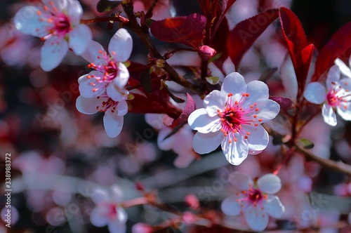 Fototapety, obrazy: Close-up Of Pink Flowering Tree