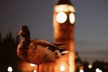 Duck Against Illuminated Big Ben At Night