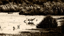 Swan Drinking Water In Lake