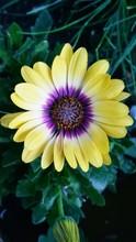 Macro Shot Of Yellow Gazania Flower