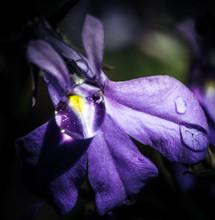 Close-up Of Water Drop On Iris