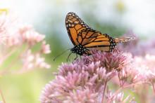 A Monarch Butterfly Feeds On Pink Flowers In A Dreamy Meadow