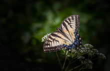 An Eastern Tiger Swallowtail Butterfly Feeds On A Bunch Of Small White Flowers