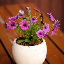 Close-up Of Pink Daisy Flowers In Vase