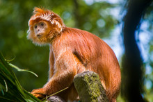 """A Javan Langur (Trachypithecus Auratus) Sits Alone And Look Far-away. It Is Most Commonly Glossy Black With A Brownish Tinge To Its Legs, Sides, And """"sideburns"""". This Species' Tail Is Noticeably Long."""