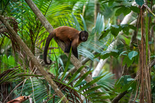 Crested Capuchin Photographed In Linhares, North Of Espirito Santo. Southeast Of Brazil. Atlantic Forest Biome. Picture Made In 2018.
