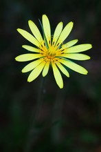 Close-up Of Yellow Salsify Flower