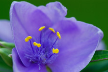 Purple Spiderwort