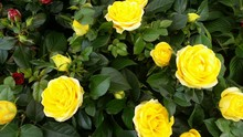 Close-up Of Yellow Roses Blooming In Park