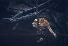 Squirrel Monkey, Scientific Na...