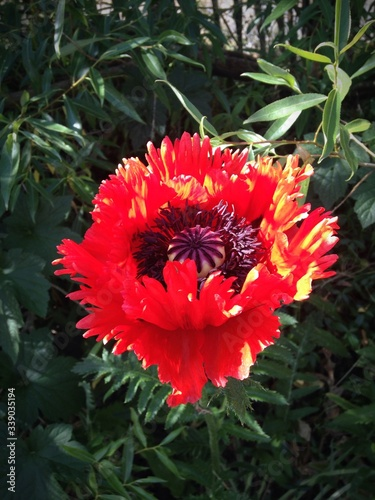 Fotografía Close-up Of Oriental Poppy Blooming In Garden