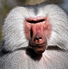 Portrait Of Baboon Monkey