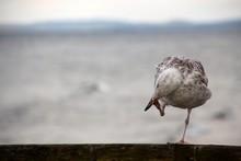 Close-up Of Herring Gull Preening On Fence