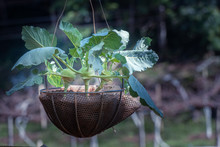 Growing Vegetable In Basket By...