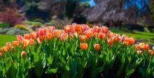 Flowerbed Of Tulip Blossom In Orange Colour Grown In Garden