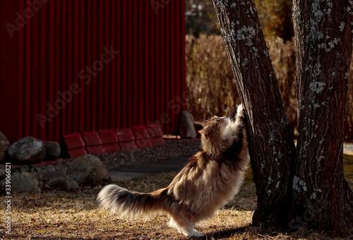 Fotografía A tortoiseshell norwegian forest cat female scratching tree trunk on a springlik