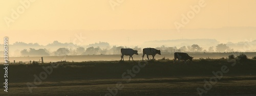 Canvas Cows Grazing On Grassy Field