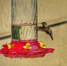 Hummingbird Flying Around Feeder