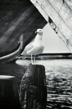 Seagull On Wooden Pole