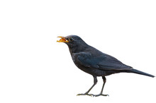 Chinese Blackbird On A White B...