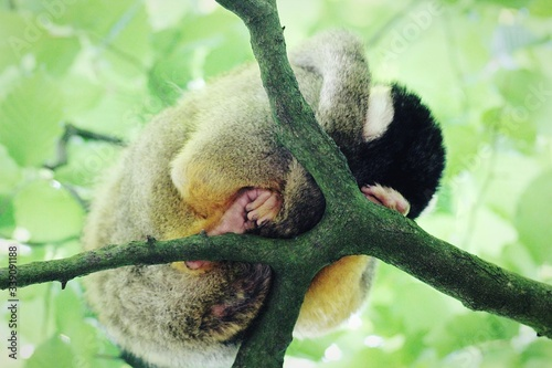 Fotografija Low Angle View Of Capuchin Monkey Sleeping On Tree