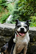 Portrait Of Boston Terrier Sitting Against Rock In Forest