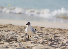 Seagulls On The Beach In Hermosa Watching The Waves Break On The Shore Waiting For Food