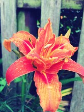Close-up Of Orange Day Lily With Rain Drops In Garden