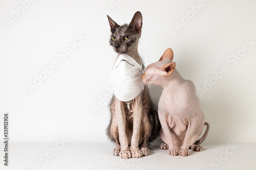Photo Masked Sphynx and Lykoi sniffing