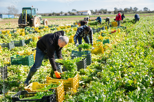 Foto Group of men gardeners picking harvest of fresh celery to crates