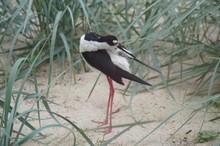 Close-up Of Black-necked Stilt...