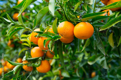 Closeup of ripe tangerines on tree Fototapeta