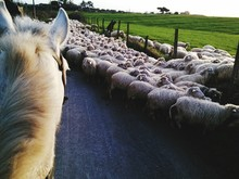 Horse With Flock Of Sheep On D...