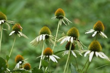White Coneflowers Blooming On Field