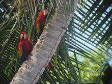 Low Angle View Of Scarlet Macaws Perching On Palm Tree Trunk