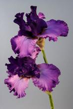 Flower Iris On The White Backg...
