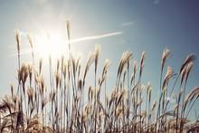 Fresh Reeds Against Sunny Sky