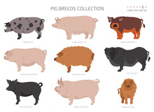 Pig Breeds Collection 6. Farm ...