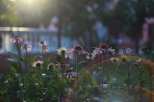 Pink Flowers Daisies - Pyrethrum In The Sun In The Garden
