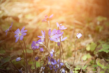 Wild Blue Forest Flower Backgr...