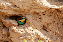 European Bee-eater, Merops Apiaster, Poking Its Head Out Of Its Nest Dug Into A Cut Of Land