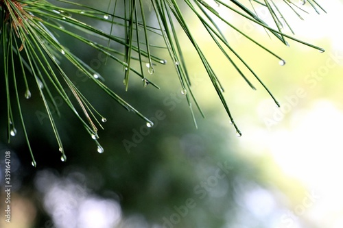 Fotografering Close-up Of Dew Drops On Pine Leaves
