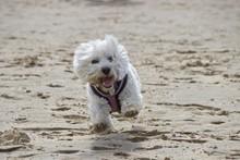 West Highland White Terrier Running On Beach